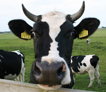 Cow and faces illusion