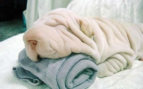 Towels Dog
