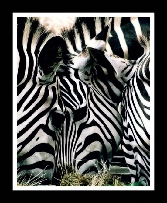 Zebra illusion