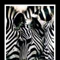 Zebra illusion thumb